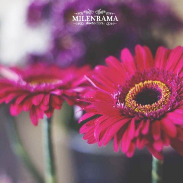 Nuestras flores y plantas: Gerbera