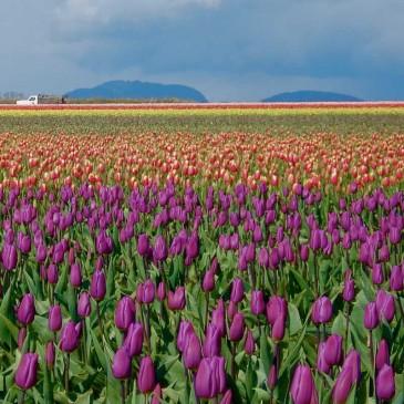 Tulipán: las leyendas detrás de la flor