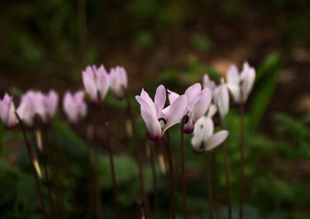flores de ciclamen